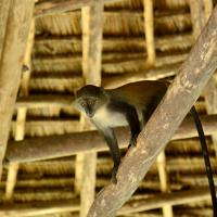 Unguja Lodge Monkey animals zanzibar