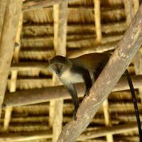 Unguja Lodge Monkey animals zanzibar
