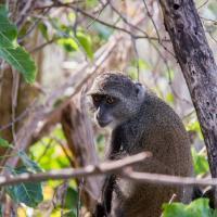 Unguja lodge monkey